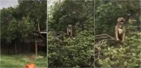 Pit bull é filmada pelo dono no seu lugar preferido: no topo de árvore