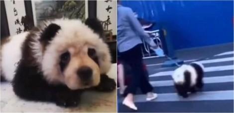 Dono que tingiu sua cadela chow-chow para parecer com um panda gera polêmica na China; vídeo