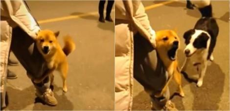 Em vídeo hilário, cachorro provoca outros cães na rua enquanto se mantém agarrado à perna de dono