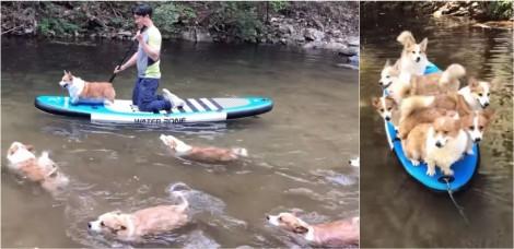 Oito cães da raça corgi se esbaldam brincando em cima de prancha em rio com donos coreanos; vídeo