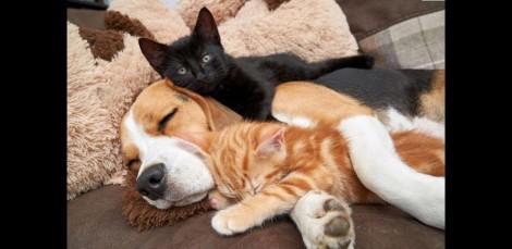 Após acolher gatinhos, beagle começa produzir leite para amamentá-los