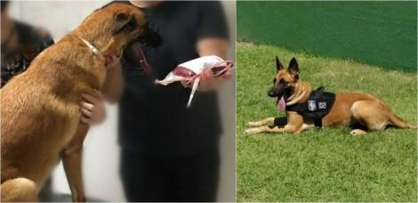 Cadela da Polícia Civil doa sangue para salvar vida de cachorro que sofre com doença do carrapato