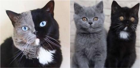 Gatinho exótico de Paris de 2 cores diferentes teve 2 filhotes, um de cada cor; confira