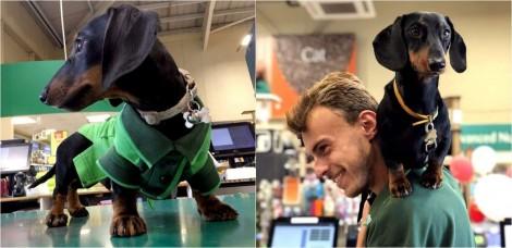 Funcionário especial: cão dachshund é responsável por receber e divertir clientes em pet shop na Inglaterra