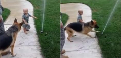 Bebê ajuda cachorro pastor alemão a superar medo de irrigador de jardim - vídeo