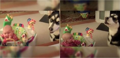 Cadela husky siberiana ajuda bebê a parar de chorar e vídeo conquista a internet -  vídeo