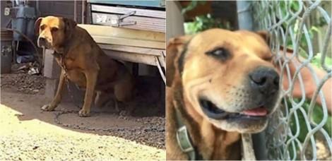 Cão que passou a vida acorrentado por ser 'raivoso demais' recebe ajuda de homem gentil