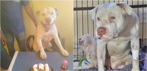 Caso pit bull Sansão: Abaixo-assinado por pedido de justiça ganha mais de 550 mil assinaturas