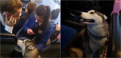 Motorista de ônibus ajuda cadela husky que fugiu de casa a reencontrar seu lar