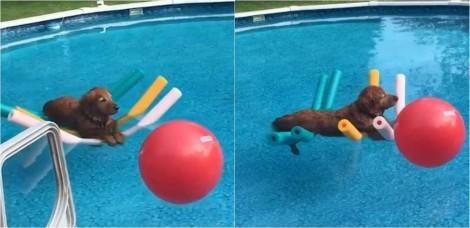 Vídeo de cachorro golden retriever aproveitando 'férias' em piscina com boias viraliza