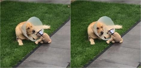 Vídeo: cão golden retriever consola brinquedo de pelúcia que, como ele, foi obrigado a usar cone após sua cirurgia