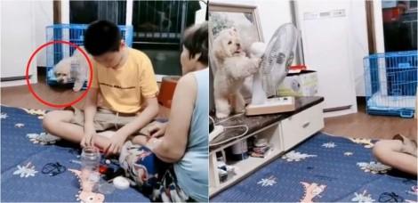 Viralizou: Poodle espertinho foge de casinha e muda sozinho a direção do ventilador para si