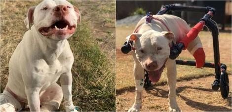 Caso pit bull Sansão: criminoso recebe apenas uma multa e é liberado
