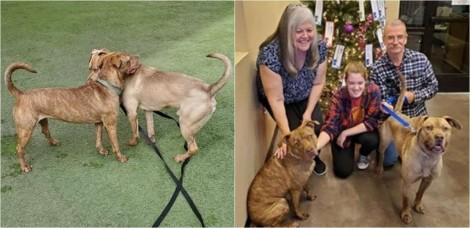 Cães pit bulls que fizeram amizade em abrigo são adotados juntos por casal