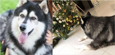 Triste com perda de tutor, cachorro husky siberiano se nega a sair de perto de cinzas de homem, relata filha