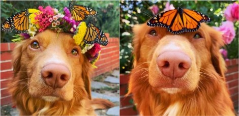 Em amizade improvável, cão e borboletas-monarcas protagonizam fotos incríveis; confira
