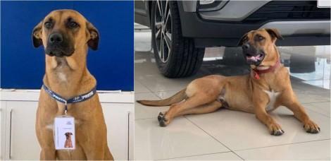 Adotado por concessionária, cão vira-lata caramelo ilustrará campanha nacional da Hyundai e vira celebridade