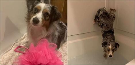 Cachorro border collie aceita tomar banho, mas com uma condição: sem molhar o bumbum