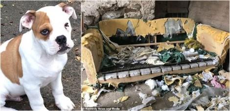 Cão bulldog inglês destrói completamente dois sofás avaliados em R$ 8.460