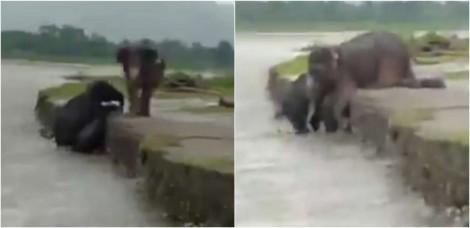 Vídeo: Mamãe elefanta é vista ajudando filhote a sair de rio e subir em terra firme