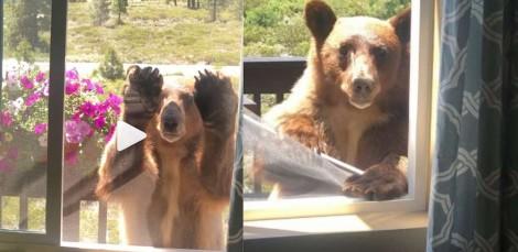 Vídeo: Urso arranca 'simpaticamente' proteção de janela de residência na tentativa de entrar nela