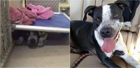 Cadela pit bull que temia a presença humana e se escondia embaixo de cama em abrigo finalmente é adotada