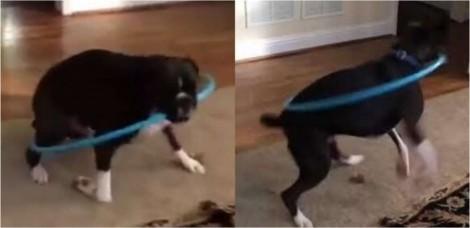Cão boxer vê dona rodando bambolê e tenta fazer igual em vídeo hilário; confira