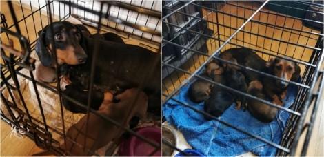Policiais resgatam 32 cães roubados na Irlanda, avaliados em mais de US$ 140 mil