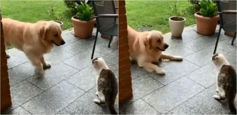 Golden retriever tenta 'convencer' gato mal humorado a correr alucinadamente com ele e vídeo conquista web