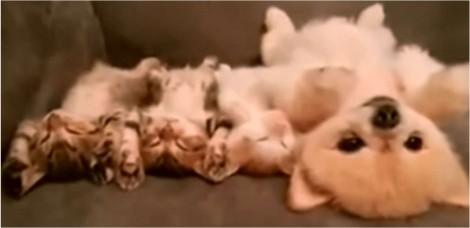 Cão Lulu da Pomerânia imita filhotes de gato cochilando no sofá da dona em vídeo fofo