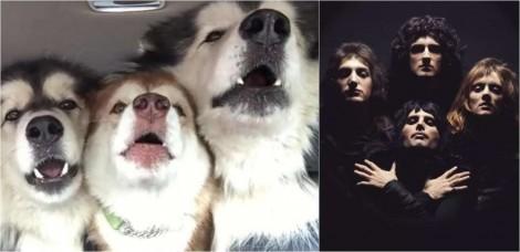 À la Bohemian Rhapsody, trio de malamutes do Alasca cantam juntos em perfeita harmonia; assista