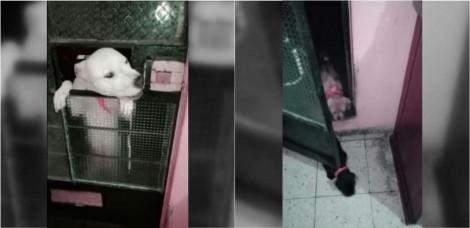Pit bull aprende a abrir porta de casa para trazer todos seus amigos caninos para brincar - vídeo