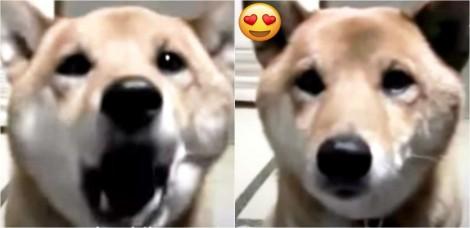 Mamãe pede para cachorrinho da raça shiba inu latir mais baixo e se surpreende com a resposta dele; confira