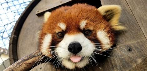 Zoológico lamenta morte de seu único panda-vermelho macho, que sofria de doença degenerativa