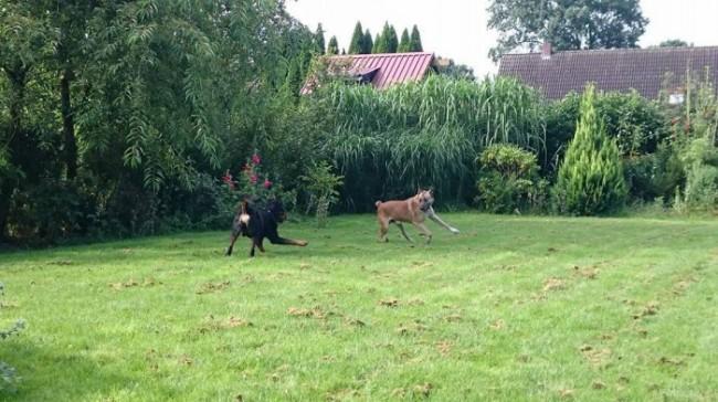 Rubio brincando com outro cão de Olivia