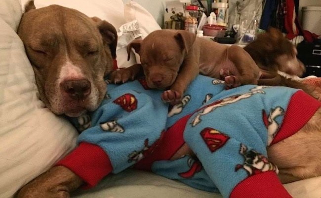 Foto: Facebook / Fifty the Twolegged Pitbull
