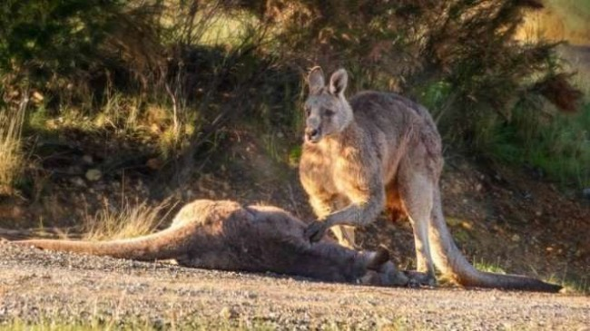 Foto: Facebook / Australian Society for Kangaroos