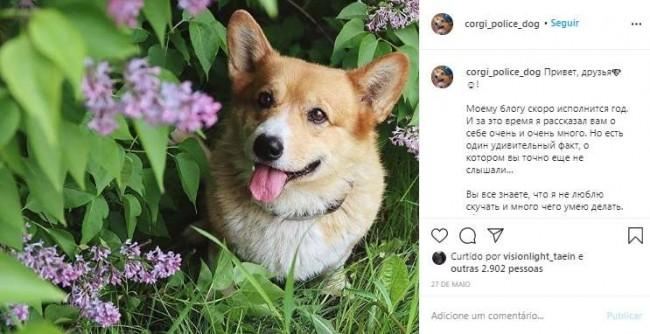 Foto: Instagram / corgi_police_dog